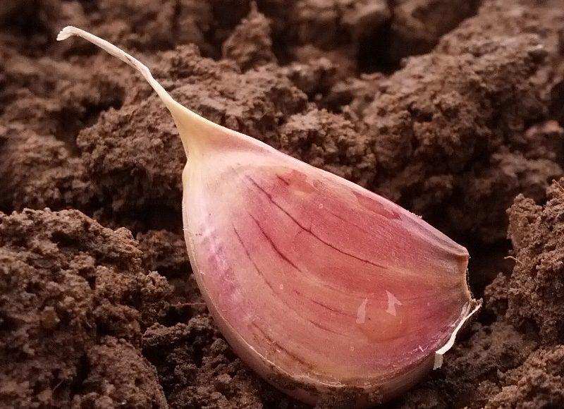 planting garlic, Ontario garlic clove in soil