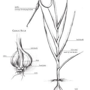 Garlic Plant Sketch