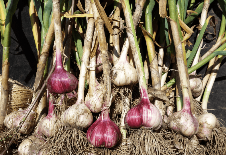 grow garlic, growing garlic, garlic grower